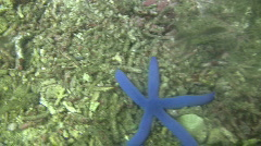 Blue starfish Linckia laevigata on a coral reef in the Philippines Stock Footage