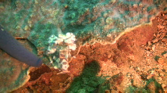 Harlequin shrimp, hymenocera elegans on a reef in the Philippines Stock Footage