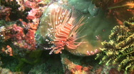 Stock Video Footage of Spotfin lionfish (pterois antennata)