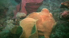 Green Giant Frogfish,Antennarius Commerson on a reef in the Philippines Stock Footage