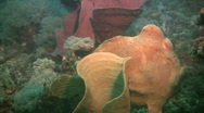 Stock Video Footage of Green Giant Frogfish (Antennarius Commerson)