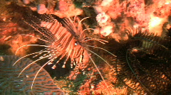 Spotfin lionfish, pterois antennata on a coral reef in the Philippines Stock Footage