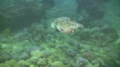 Scribbled puffer, arothron mappa on a reef in the Philippines Stock Footage