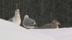 Seagulls standing on white snowbanks looking at surroundings for danger Stock Footage