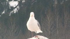 Single seagull standing on hard snowbank against distant mountain Stock Footage