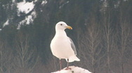 Stock Video Footage of Seagulls on snow 002