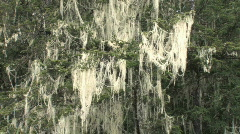 Spanish moss draped from spruce tree branches in damp coastal forest Stock Footage
