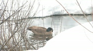 Stock Video Footage of Canada goose 002