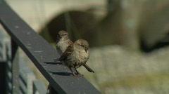 Sparrows - stock footage