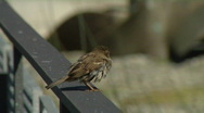 Stock Video Footage of Sparrows