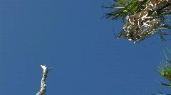 Birds on dead tree in Florida Everglades Stock Footage