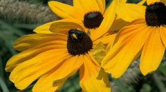 Bee pollinates spring flowers Stock Footage