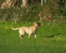 English mastiff Stock Footage