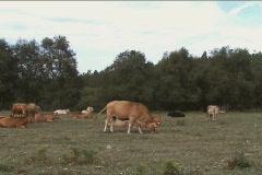 Herd of cows graze Stock Footage