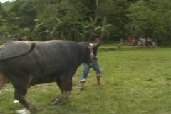 Bull Fighting 2 Stock Footage