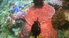 Giant barrel sponge, Xestospongia muta on a reef in Philippines Stock Footage