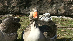 Grey Goose Stock Footage