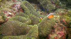 Pink anemonefish, Amphiprion perideraion in a sea anemone in Philippines Stock Footage