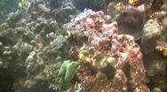 Stock Video Footage of Healthy coral reef ecosystem at Mindoro island in the Philippines