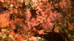 White-eyed Moray eel, Gymnothorax thyrsoideus on a coral reef in the Philippines Stock Footage