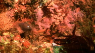Stock Video Footage of White-eyed Moray eel on a healthy coral reef in  Philippines