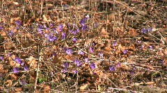 Flowering Liverwort, Hepatica nobilis during spring in sweden Stock Footage