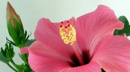 Time-lapse of pink hibiscus flower opening 2 Stock Footage