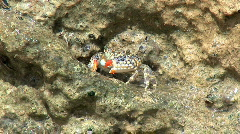Close Up Crab in Reef Brazil Stock Footage