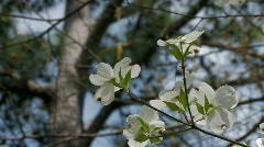 Dogwood blossoms in the spring breeze Stock Footage