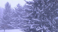 Stock Video Footage of Pine Trees in Snowstorm