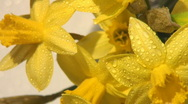 Closeup of bright yellow daffodils Stock Footage