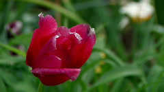 Red tulip in the spring garden Stock Footage
