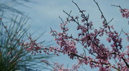 Stock Video Footage of Spring blossoms rustle in breeze
