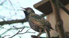 Starling near the bird nest 3 Stock Footage