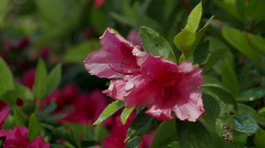 Red azalea blossoms in spring rain Stock Footage
