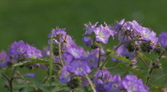 Stock Video Footage of Purple flowers