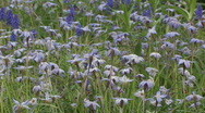 Stock Video Footage of Blue and purple wild flowers