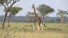 Giraffes at a game park in Kenya Africa Stock Footage