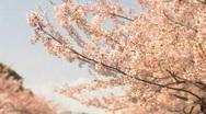 Cherry Blossom, Sakura, Tokyo Stock Footage