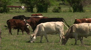 Stock Video Footage of cows pasture