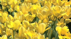 Yellow Tulips Blowing Gently in the Breeze in Field of Tulips in Oregon Stock Footage