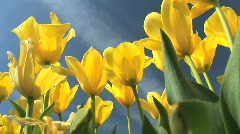 Yellow Springtime Tulips in Field, Oregon Stock Footage