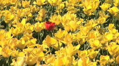Single Red Tulip Surrounded by Yellow Tulips in Springtime Tulip Field in Oregon Stock Footage