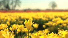 Tulip Field, one flower raised up Stock Footage