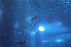Shoal of Fish in blue sea Stock Footage