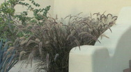 Stock Video Footage of Purple Fountain grass 001