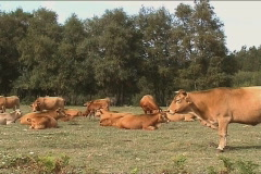 Cows grazing on field Stock Footage