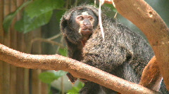 Female Pale-faced Saki Monkey Stock Footage