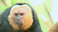 Male Pale-faced Saki Monkey (2 of 2) Stock Footage