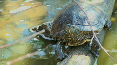 Turtle (two scenes) Stock Footage